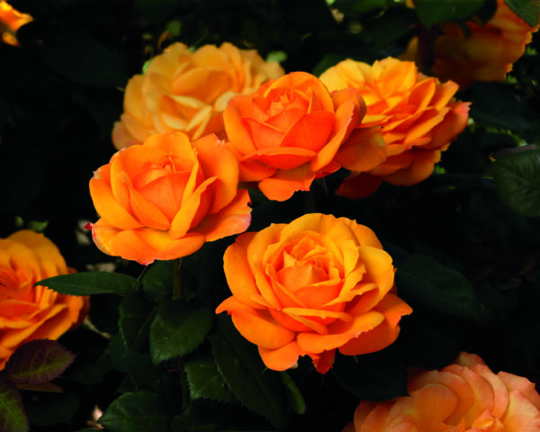 'Good as Gold' rose; golden orange-yellow with a kiss of red, 5 inch flowers
