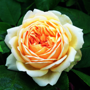 'Jude the Obscure™' rose; dark to light golden yellow 4.5 inch flowers
